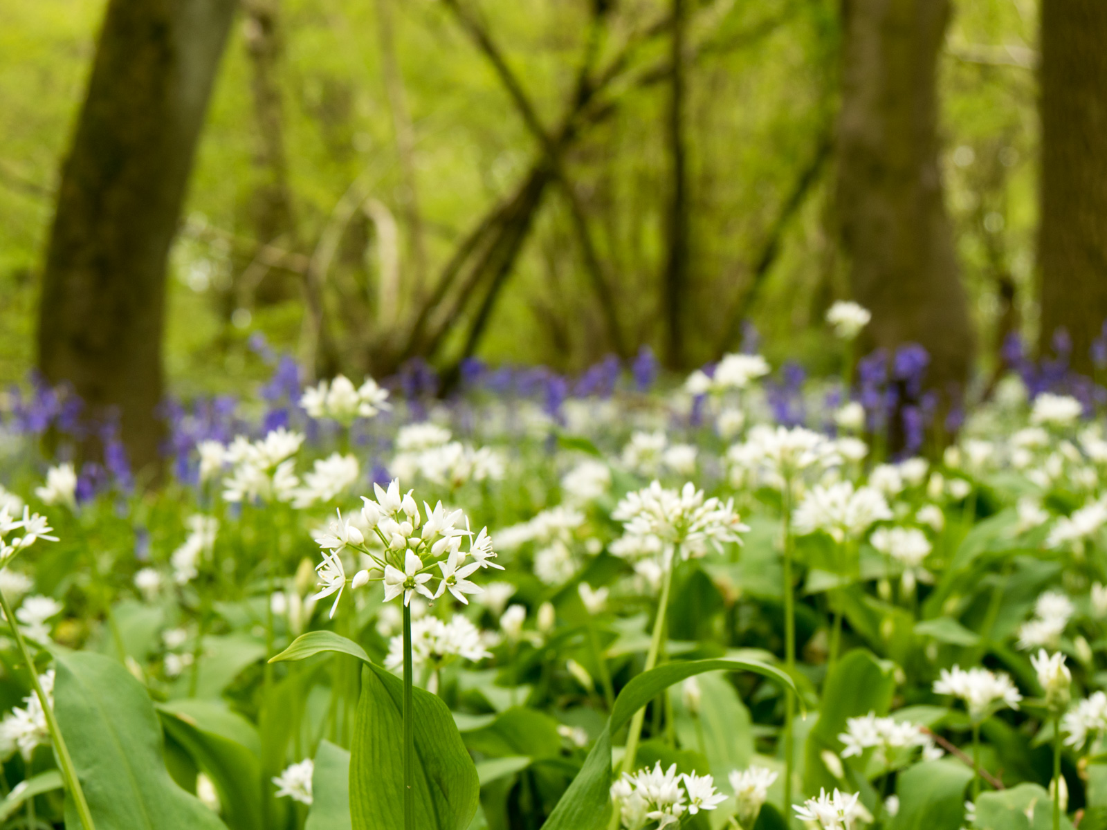 Bluebells and some white flower
