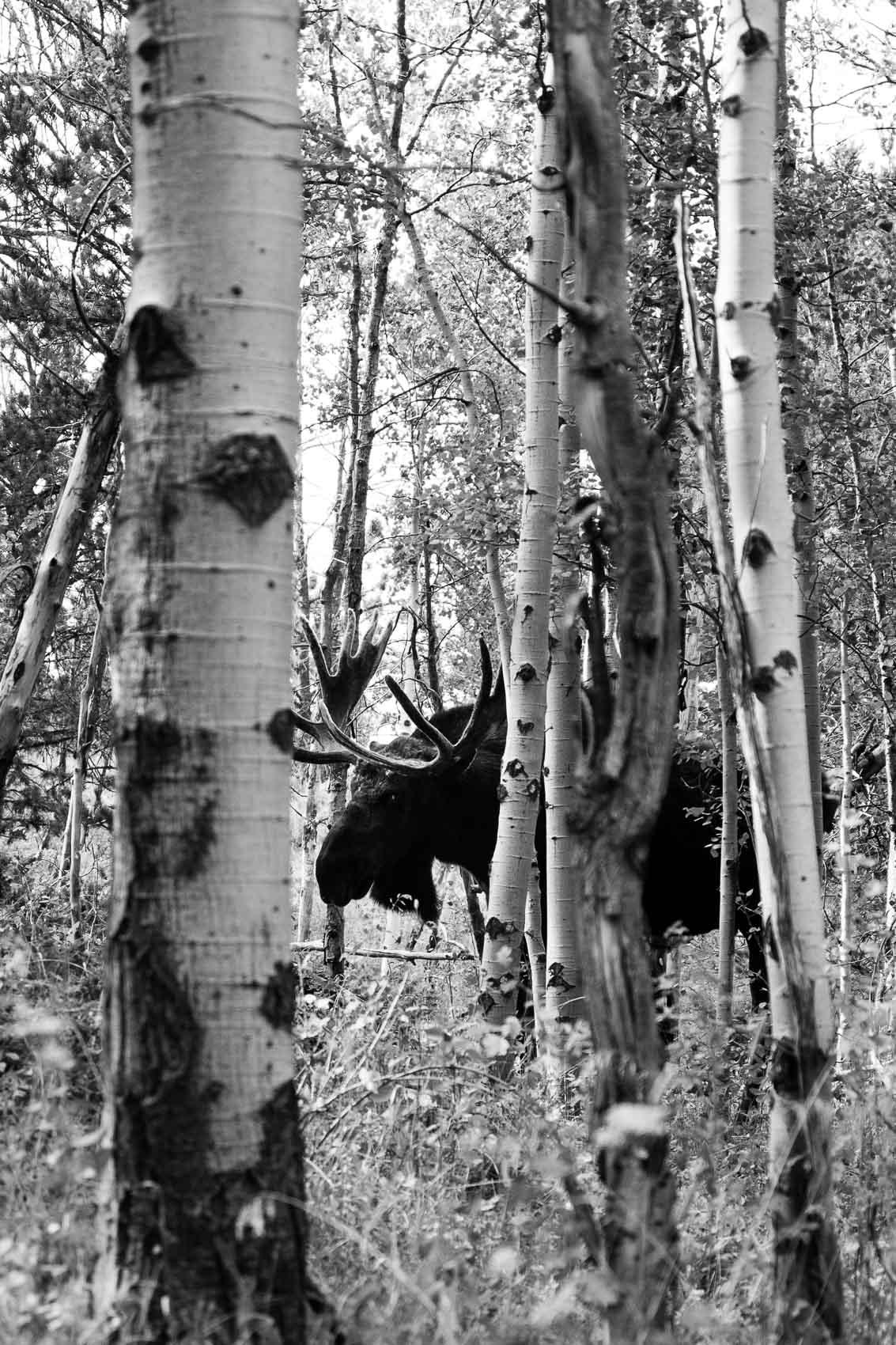 bw moose