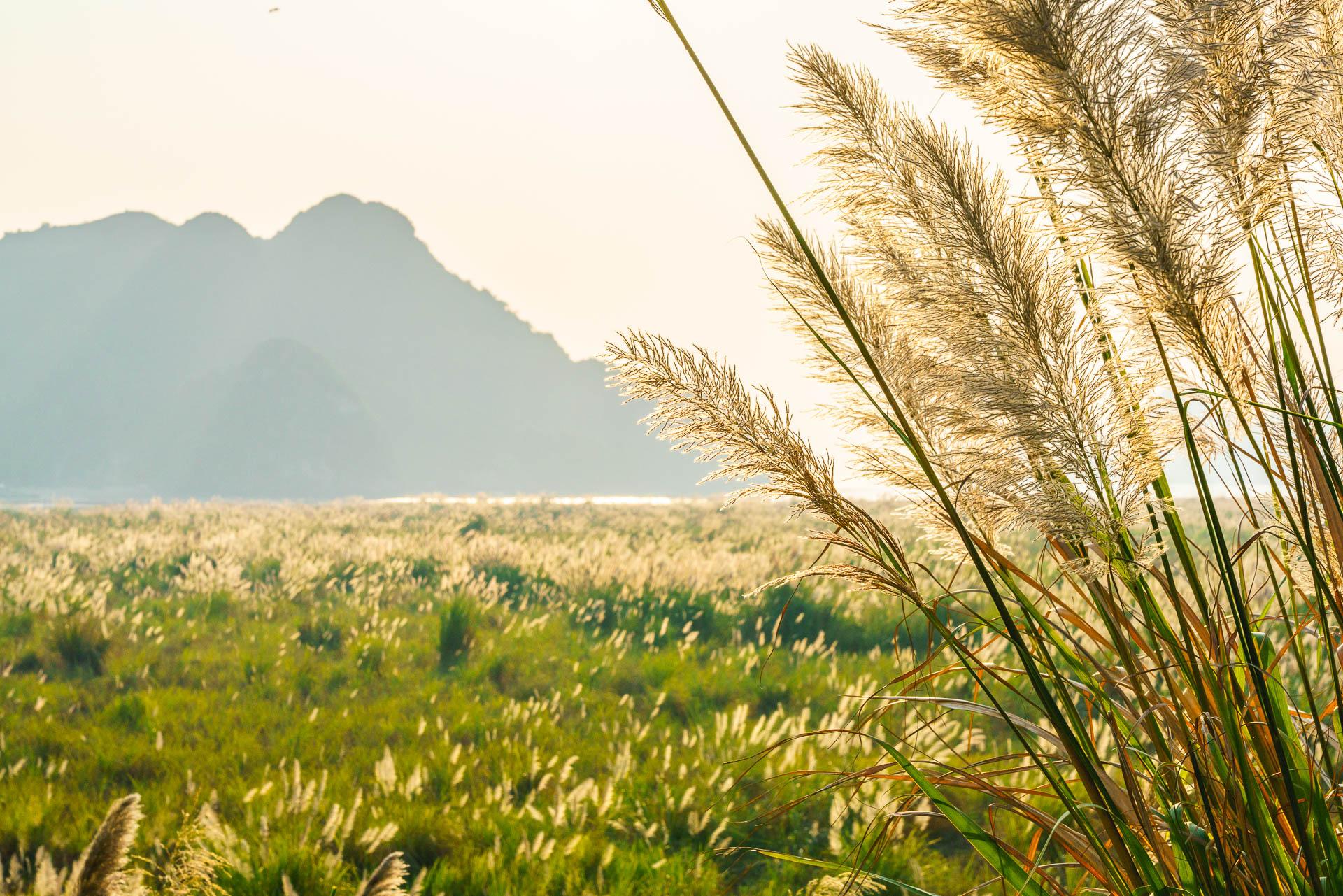 catba grasses